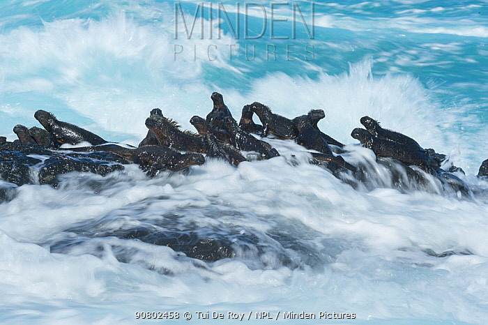 Marine iguana (Amblyrhynchus cristatus) group on rock in the waves, Cape Hammond, Fernandina Island, Galapagos