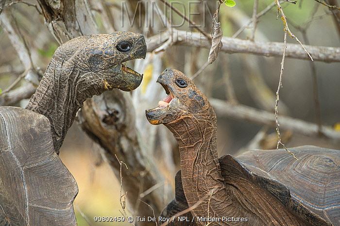 San Cristobal giant tortoises (Chelonoidis chatamensis), fighting, Galapaguera, San Cristobal Island, Galapagos