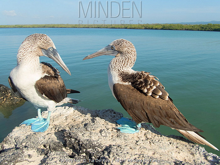 Blue-footed booby (Sula nebouxii), pair looking at each other, perched on rock. Tortuga Bay, Santa Cruz Island, Galapagos.