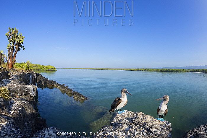 Blue-footed booby (Sula nebouxii) pair perched on rock at coast. Academy Bay, Santa Cruz Island, Galapagos. March 2016.