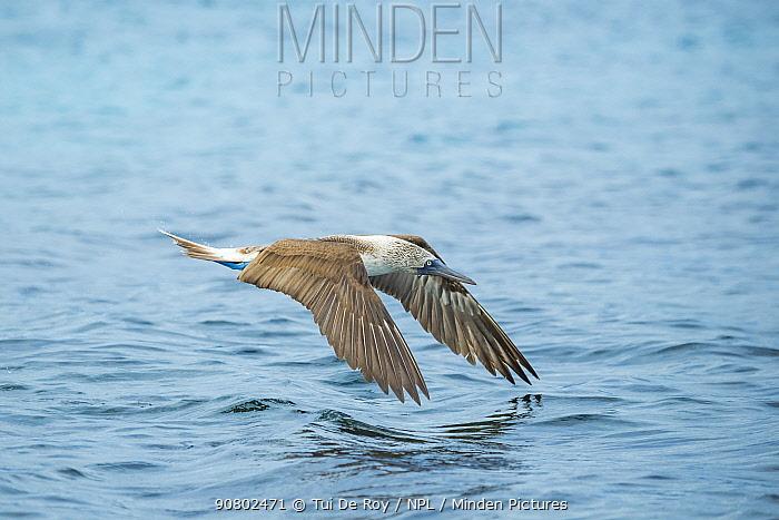 Blue-footed booby (Sula nebouxii) in flight over sea. Punta Gavilanes, Fernandina Island, Galapagos.