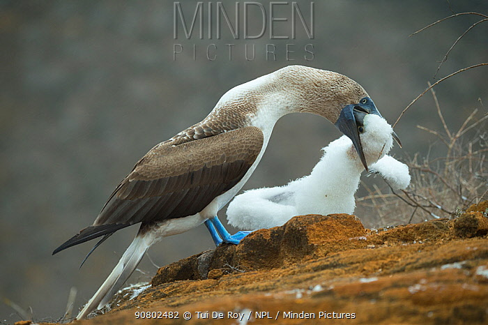 Blue-footed booby (Sula nebouxii) feeding chick. Punta Pitt, San Cristobal Island, Galapagos.