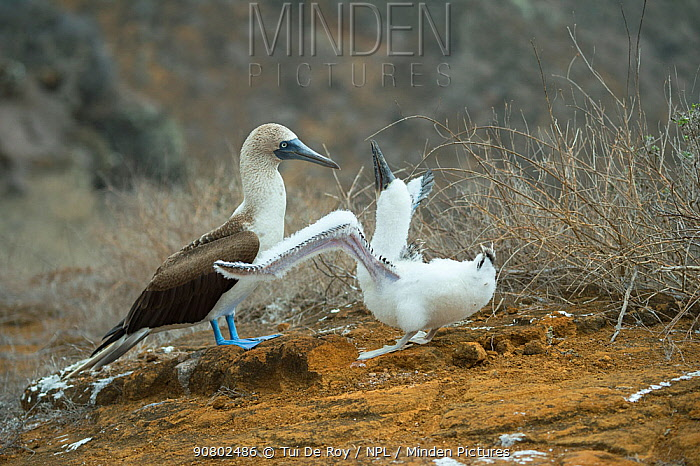 Blue-footed booby (Sula nebouxii) adult with begging chick. Punta Pitt, San Cristobal Island, Galapagos.