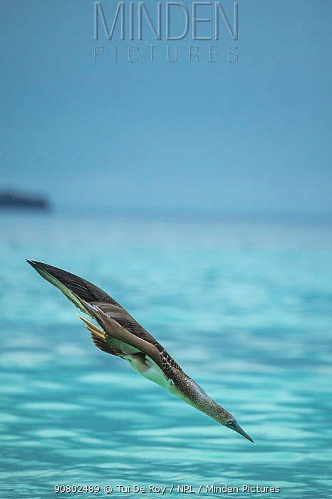 Blue-footed booby (Sula nebouxii) diving at 45 degrees towards sea. Punta Cormorant, Floreana Island, Galapagos.
