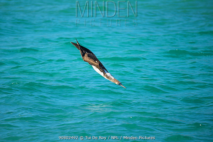 Blue-footed booby (Sula nebouxii) diving towards sea with wings folded. Santa Fe Island, Galapagos.
