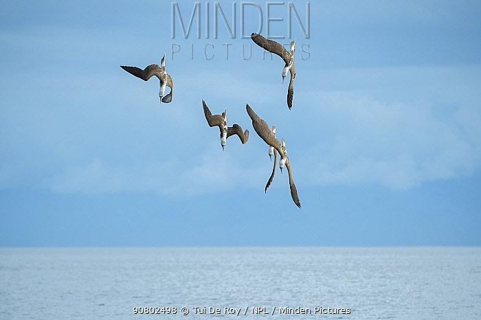 Blue-footed booby (Sula nebouxii), five diving towards sea. Espumilla Beach, Santiago Island, Galapagos.