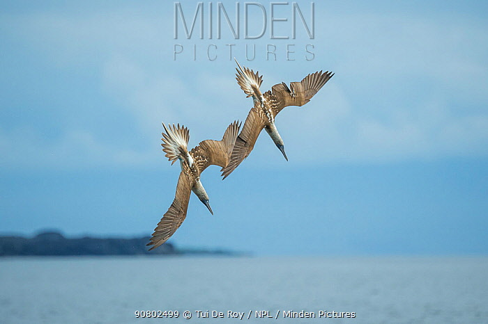 Blue-footed booby (Sula nebouxii), two diving in synchrony towards sea. Espumilla Beach, Santiago Island, Galapagos.