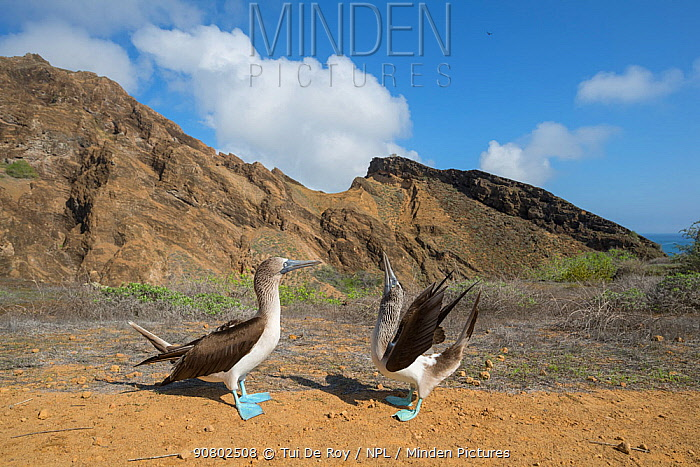 Blue-footed booby (Sula nebouxii), pair in courtship display. Punta Pitt, San Cristobal Island, Galapagos. April 2017.
