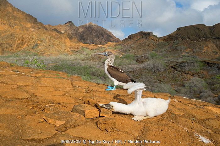 Blue-footed booby (Sula nebouxii), chick holding wings aloft with adult behind. Punta Pitt, San Cristobal Island, Galapagos. April 2017.