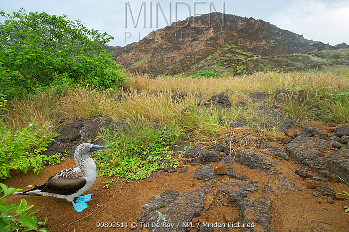 Blue-footed booby (Sula nebouxii) with grassland and hill in background. Punta Pitt, San Cristobal Island, Galapagos. June 2015.