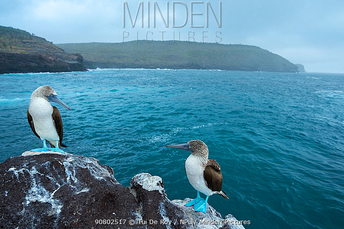 Blue-footed booby (Sula nebouxii), pair looking at each other, on coastal rocks. Santa Fe Island, Galapagos. August 2015.