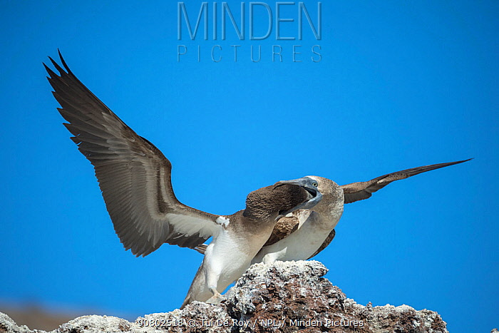 Blue-footed booby (Sula nebouxii), adult feeding chick in rock. Punta Vicente Roca, Isabela Island, Galapagos.
