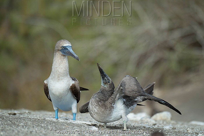 Blue-footed booby (Sula nebouxii), adult standing besides begging chick. Punta Vicente Roca, Isabela Island, Galapagos.