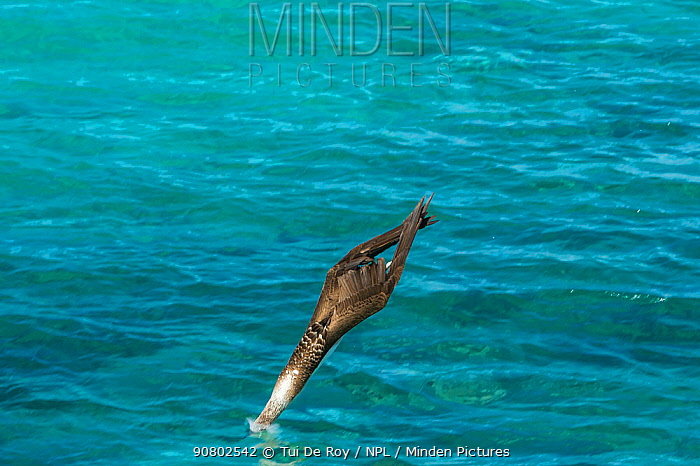 Blue-footed booby (Sula nebouxii) diving into sea, wings folded. Northeast coast, Santiago Island, Galapagos. Sequence 1/2.