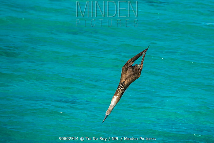 Blue-footed booby (Sula nebouxii) diving towards sea, wings folded. Northeast coast, Santiago Island, Galapagos. Sequence 2/2.