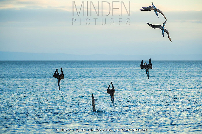 Blue-footed booby (Sula nebouxii), six diving into sea. Espumilla Beach, Santiago Island, Galapagos.