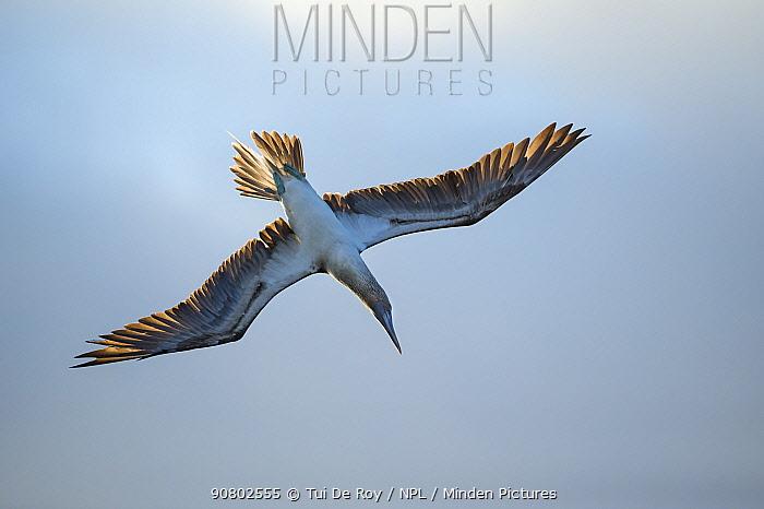 Blue-footed booby (Sula nebouxii) in flight. Espumilla Beach, Santiago Island, Galapagos.