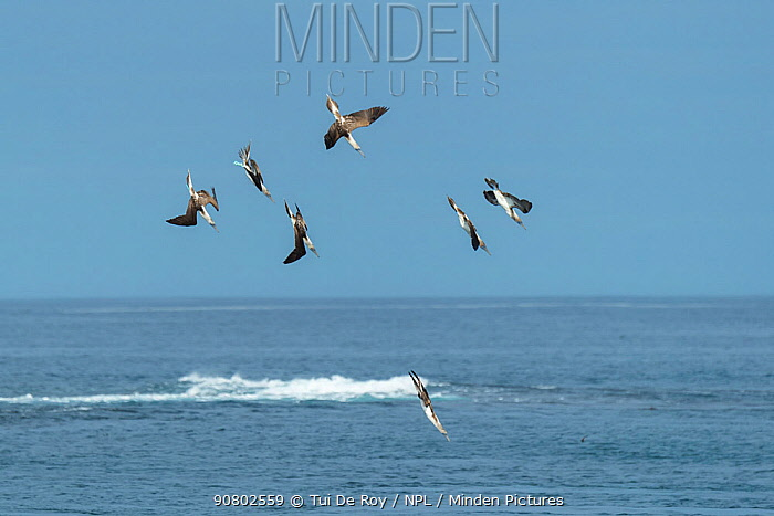 Blue-footed booby (Sula nebouxii), seven diving into sea. Cape Douglas, Fernandina Island, Galapagos.