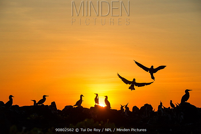 Blue-footed booby (Sula nebouxii) colony at sunet. Cape Douglas, Fernandina Island, Galapagos.