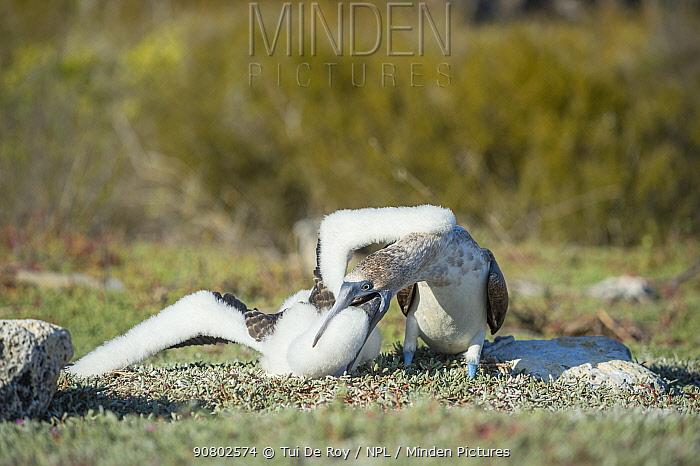 Blue-footed booby (Sula nebouxii) feeding chick. Santa Cruz Island, Galapagos.