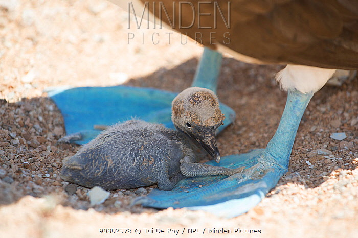 Blue-footed booby (Sula nebouxii), chick sheltering in shade between parent's feet. Santa Cruz Island, Galapagos.