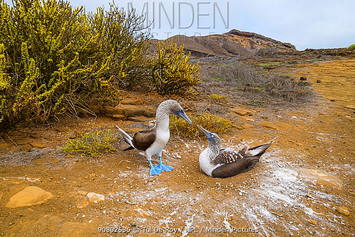 Blue-footed booby (Sula nebouxii), pair looking at each other, at nest. Punta Pitt, San Cristobal Island, Galapagos. April 2016.