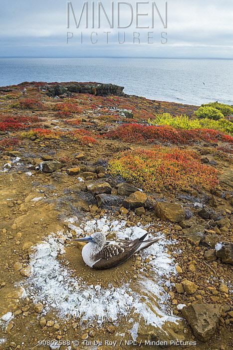Blue-footed booby (Sula nebouxii) sitting on nest. Circle of guano around nest. Punta Pitt, San Cristobal Island, Galapagos. April 2016.