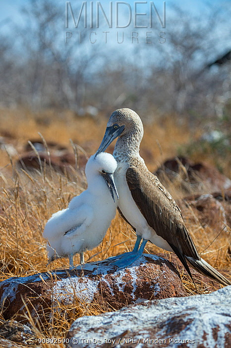Blue-footed booby (Sula nebouxii), adult with chick. Seymour Island, Galapagos.