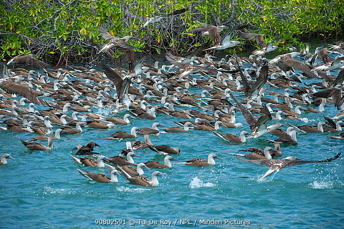 Blue-footed booby (Sula nebouxii), many swimming on surface with others flying overhead. Itabaca Channel, Santa Cruz Island, Galapagos.