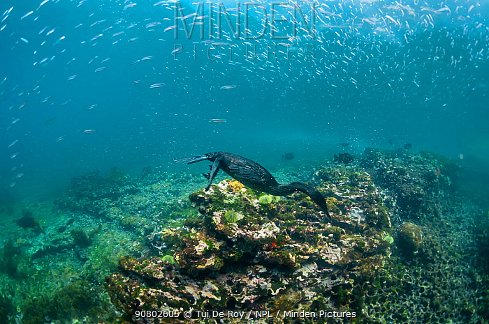 Flightless cormorant (Phalacrocorax harrisi) swimming above sea floor, many fish above. Tagus Cove, Isabela Island, Galapagos. July 2014.