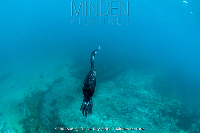 Flightless cormorant (Phalacrocorax harrisi) swimming underwater. Tagus Cove, Isabela Island, Galapagos.