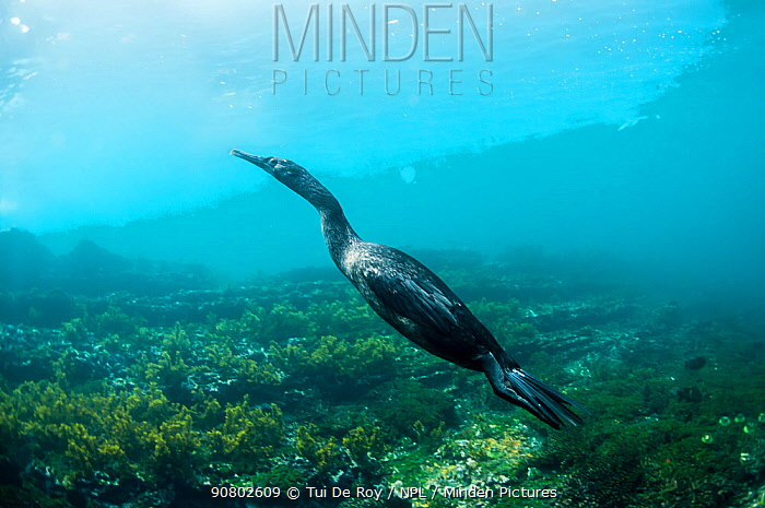 Flightless cormorant (Phalacrocorax harrisi) swimming in coastal waters. Tagus Cove, Isabela Island, Galapagos.