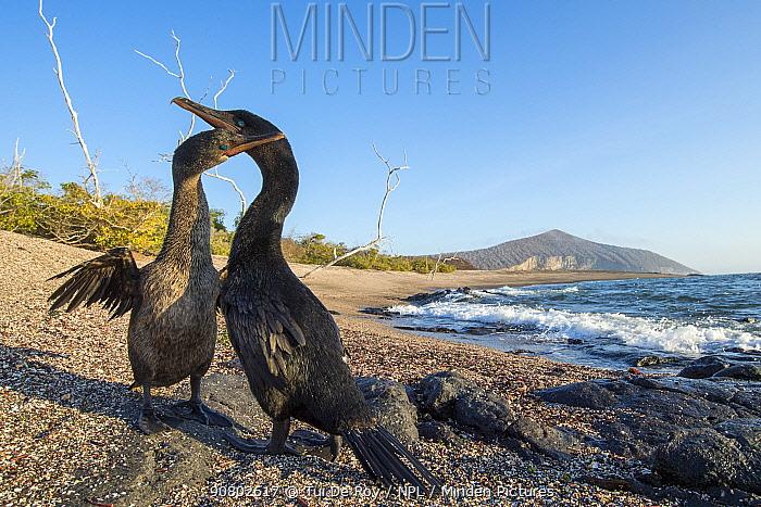 Flightless cormorant (Phalacrocorax harrisi), pair billing on beach. Playa Negra, Isabela Island, Galapagos. December 2016.