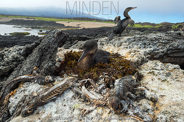 Flightless cormorant (Phalacrocorax harrisi) on nest with another drying wings in background. Galapagos marine iguana (Amblyrhynchus cristatus) carcasses, a result of starvation caused by El Nino, surrounding nest. Cape Douglas, Fernandina Island, Galapagos. May 2016.