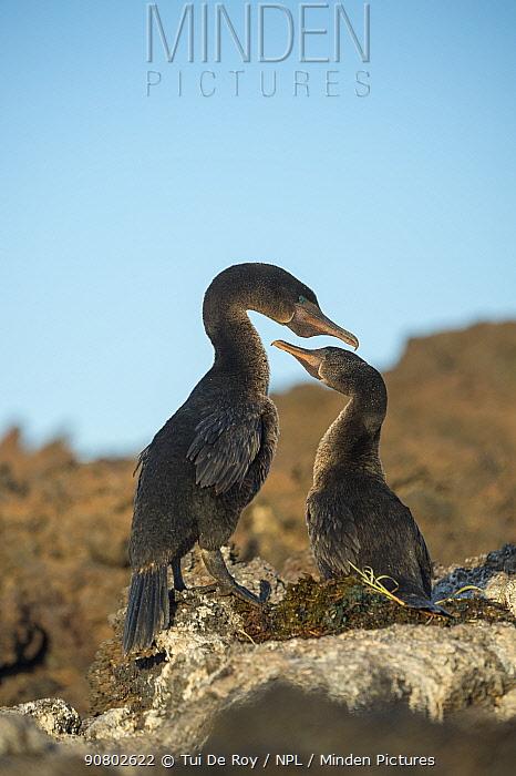 Flightless cormorant (Phalacrocorax harrisi), pair billing, at nest. Cape Douglas, Fernandina Island, Galapagos.