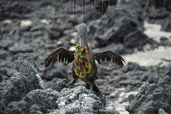 Flightless cormorant (Phalacrocorax harrisi) carrying nesting material across rocks. Punta Albemarle, Isabela Island, Galapagos.
