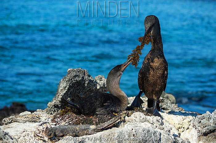 Flightless cormorant (Phalacrocorax harrisi), pair at nest with seaweed in beaks. Carcasses surrounding nest. Cape Douglas, Fernandina Island, Galapagos.