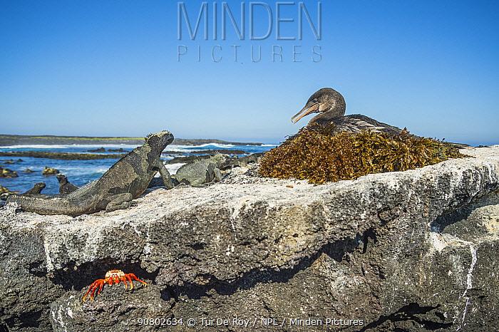 Flightless cormorant (Phalacrocorax harrisi) on nest looking at Galapagos marine iguana (Amblyrhynchus cristatus). Crab on rock below. Cape Douglas, Fernandina Island, Galapagos.