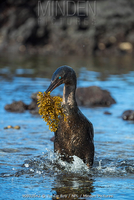 Flightless cormorant (Phalacrocorax harrisi) coming ashore with nesting material in beak. Punta Albemarle, Isabela Island, Galapagos.