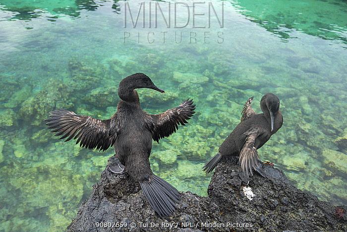 Flightless cormorant (Phalacrocorax harrisi), two drying wings on rock. Clearwater Bay, Isabela Island, Galapagos.