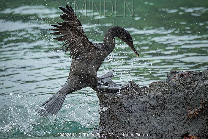 Flightless cormorant (Phalacrocorax harrisi) coming ashore amongst crabs. Clearwater Bay, Isabela Island, Galapagos. Sequence 3 of 3.