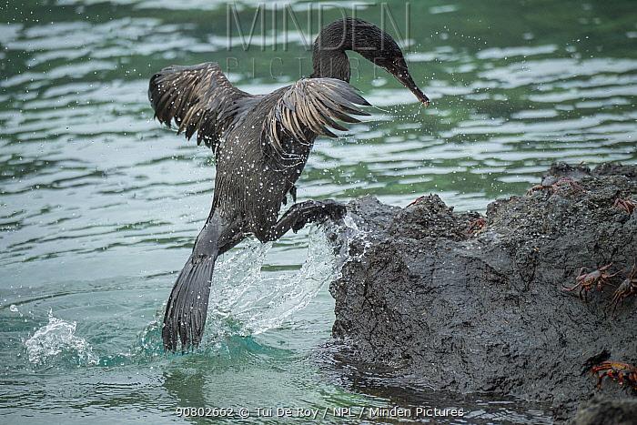 Flightless cormorant (Phalacrocorax harrisi) coming ashore amongst crabs. Clearwater Bay, Isabela Island, Galapagos. Sequence 2 of 3.