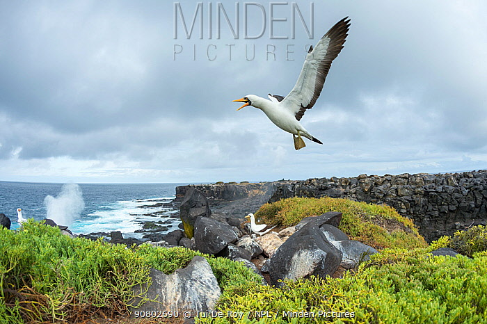 Nazca booby (Sula granti) flying with beak open, two boobies in background on rocky cliffs. Punta Suarez, Espanola Island, Galapagos. October 2015.
