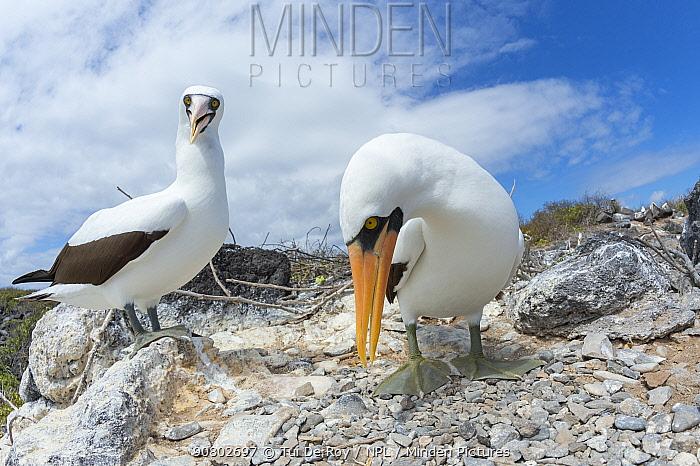 Nazca booby (Sula granti), pair standing amongst stones. Punta Suarez, Espanola Island, Galapagos.