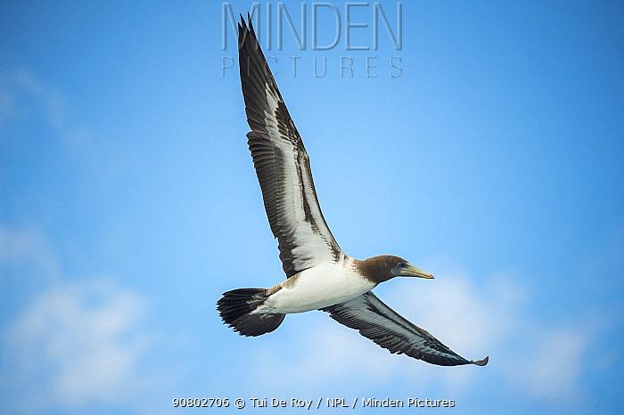 Nazca booby (Sula granti) flying. Gardner Islet, Espanola Island, Galapagos.