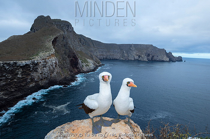 Nazca booby (Sula granti), pair standing on rock overlooking sea. Wolf Island, Galapagos. August 2016.