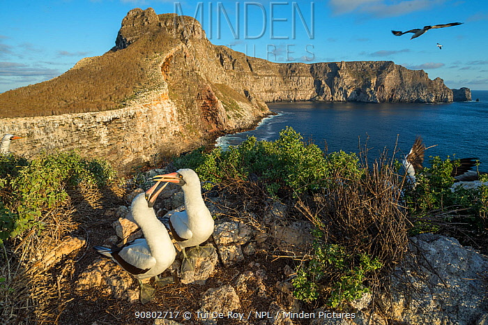 Nazca booby (Sula granti), pair billing on coastal cliff in evening light. Wolf Island, Galapagos. August 2016.