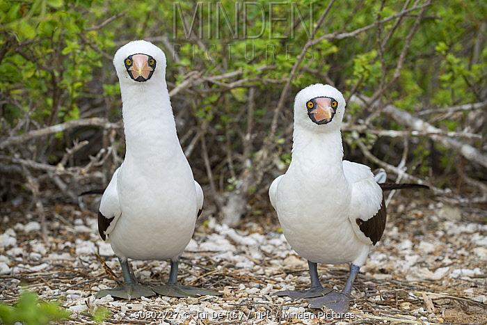 Nazca booby (Sula granti), pair standing side by side, looking at camera. Darwin Bay, Genovesa Island, Galapagos.