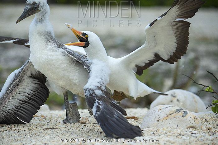 Nazca booby (Sula granti), adult attacking chick. Genovesa Island, Galapagos.