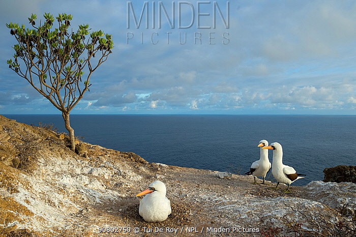 Nazca booby (Sula granti) on nest with two looking on, at coast. Gardner Islet, Floreana Island, Galapagos. December 2014.